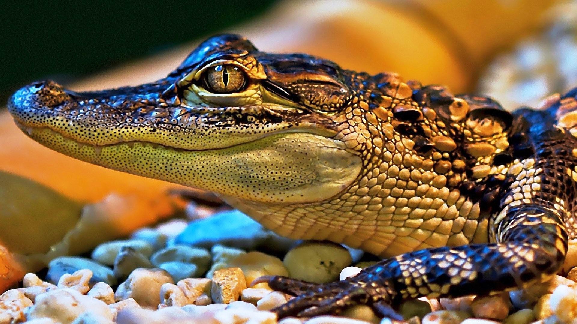 Днем рождения, картинки красивые крокодилов