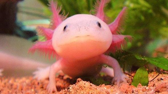 Axolotl HD Wallpapers - High Quality HD Wallpapers Nature