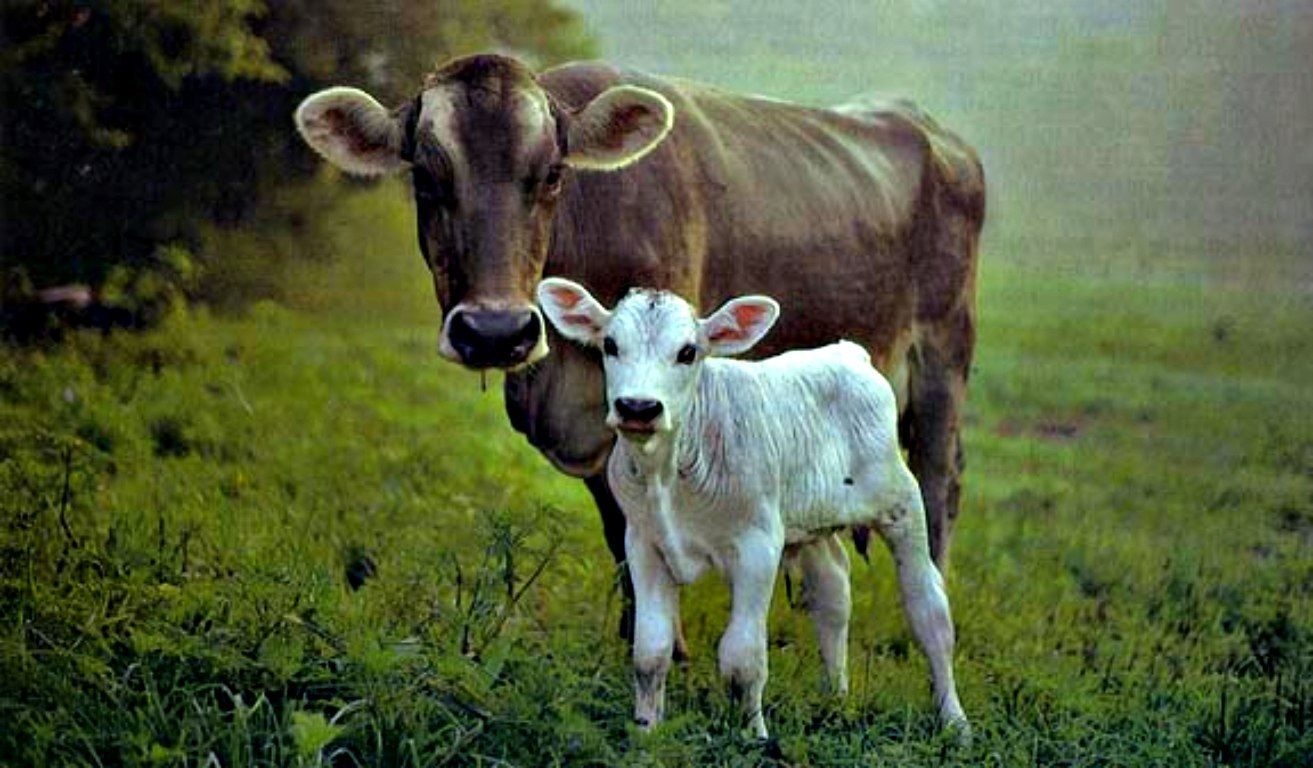Cow Hd Wallpapers High Quality Hd Wallpapers Nature